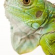 Iguana isolated on white background — Stock Photo #3809795