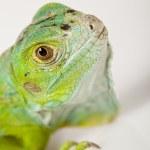 Iguana isolated on white background — Stock Photo #3809969