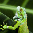 Iguana, small dragon, lizard, gecko — Stock Photo
