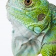 Iguana in the wild — Stock Photo #3811489