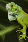 Iguana as a dragon — Stock Photo