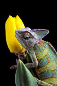 Flower on chameleon — Stock Photo