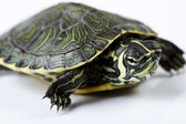 Slow turtle — Stock Photo