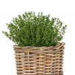 Stock Photo: Thyme Herb Plant