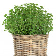 Oregano Herb Plant — Foto Stock