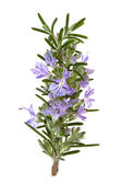 Rosemary Herb Flowers — Stock Photo