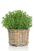 Oregano Herb Plant — Stock Photo