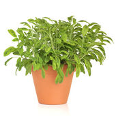 Sage Herb Plant — Stock Photo