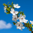 White spring  flowers - Stock Photo