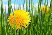 Spring flower in grass — Stock Photo