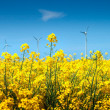Rape field — Stock Photo #3262498
