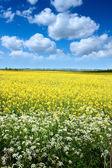 Pole nasion rzepaku w lecie — Zdjęcie stockowe