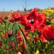 Stock Photo: Wild poppies flowers