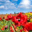 Wild poppies flowers — Stock Photo