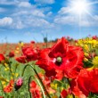 Wild poppies flowers — Stock Photo #3340088