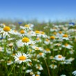 Marguerite daisy flowers — Stock Photo #3448992