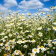 Summer flowers field — Stock Photo
