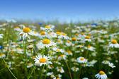 Marguerite daisy flowers — Stock Photo