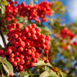 Branch of a mountain ash - Stock Photo