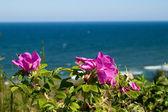 Dzika róża kwiaty — Zdjęcie stockowe