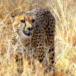 Wild cheetah - Stock Photo