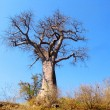 Baobab tree - Stock Photo