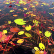Lilies on the water — Stock Photo