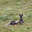 Australian Grey Kangaroo — Stock Photo
