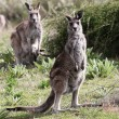 Australian Grey Kangaroo - Stock Photo