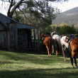 Stock Photo: Group of Horses in Outback