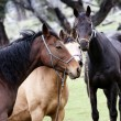 Horses in the Outback — Stock Photo