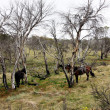 Stock Photo: Horses in Outback