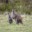 Australian Wallaby and joey — Stock Photo