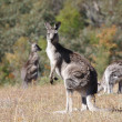 AustraliGrey Kangaroo — Stock Photo #3364784