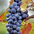 Grape cluster with leaves — Stock Photo