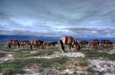 Mongolian herd animals — Stock Photo