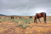Australian Horse — Stock Photo