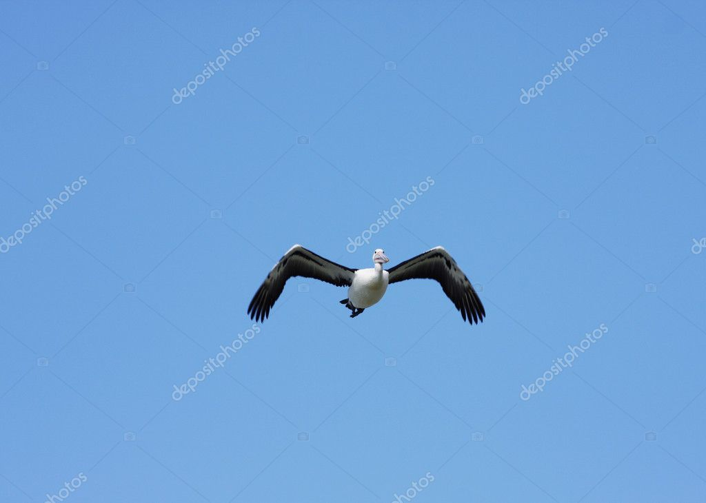 Australian Pelican against vibrant blue sky backdrop  Stock Photo #3360869