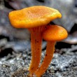 Orange mushroom - Stock Photo