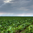 Soy farm - Stock Photo