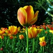 Stock Photo: Tulip closeup