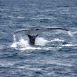 Stock Photo: Humpback whale