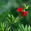 Stock Photo: Australian bottlebrush
