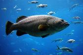 Giant grouper — Stock Photo