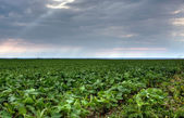 Soy farm — Stock Photo