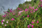Purple field of flowers — Stock Photo