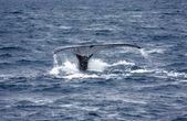 Humpback whale — Stock Photo