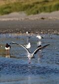 Seagull landning — Stockfoto