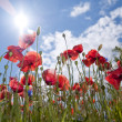 Wild poppy and corn flowers — Stock Photo