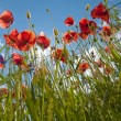 Wild poppy and corn flowers - Stock Photo
